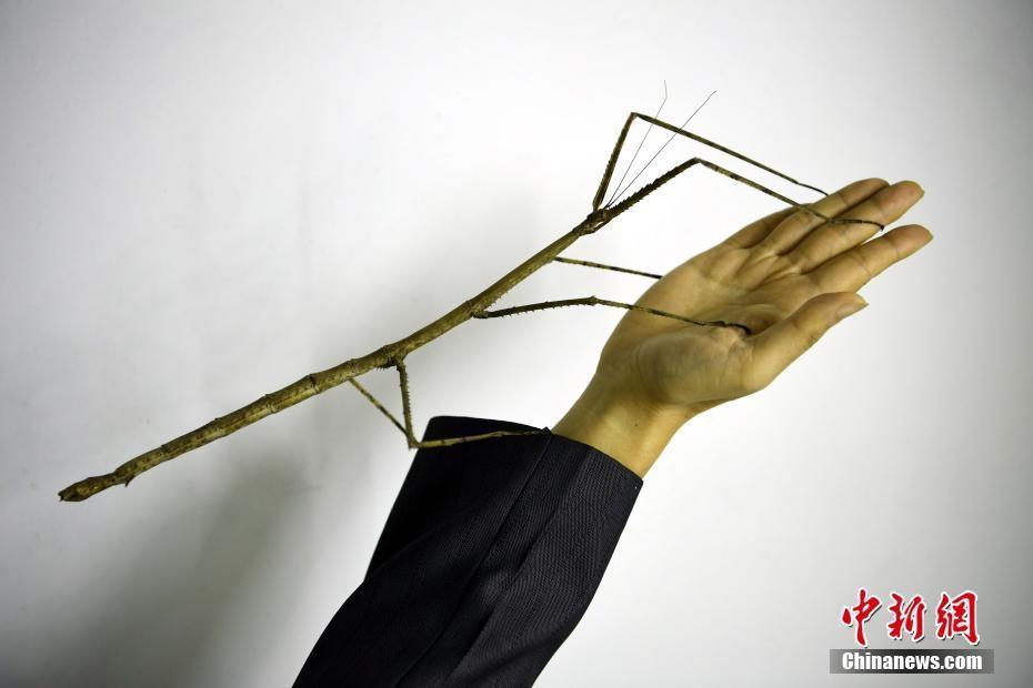 世界最大昆虫中国巨型竹节虫首产卵成功孵化
