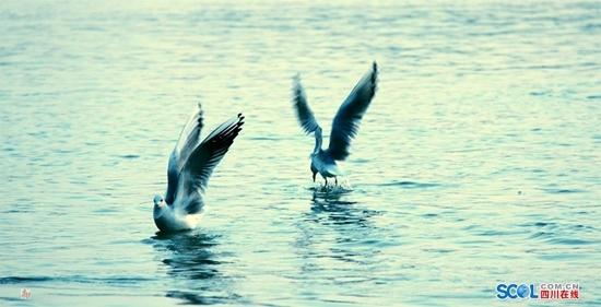 红嘴鸥又来泸州了 吸引不少市民和摄影爱好者前往