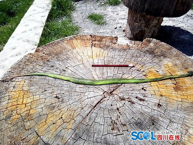 木里三千米高山区域发现竹叶青蛇类活动