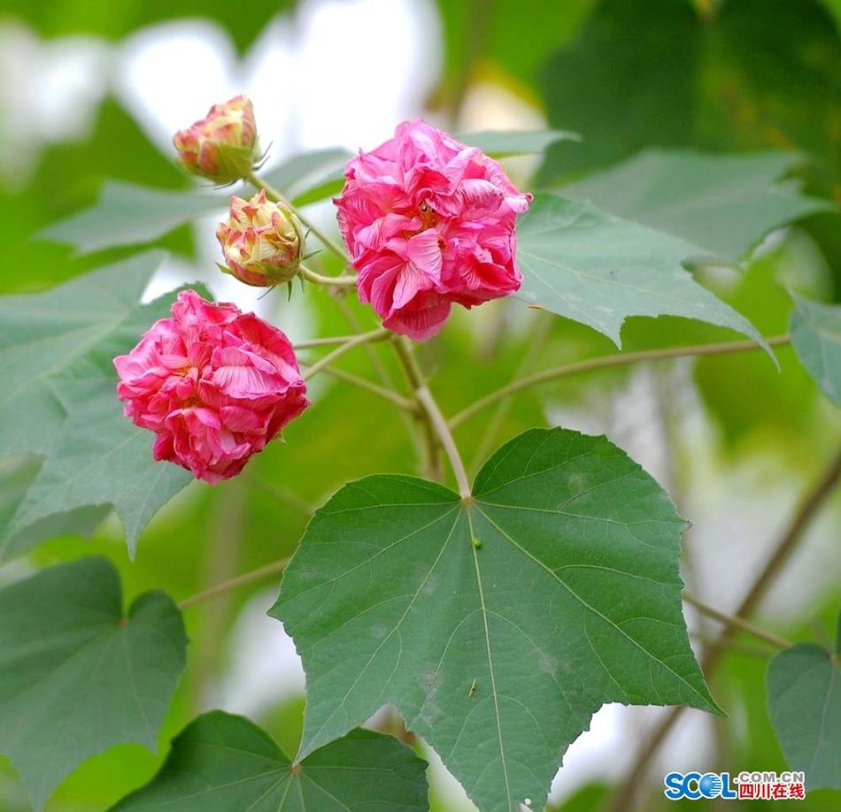 炫乐彩票市花、市树进入最美季节