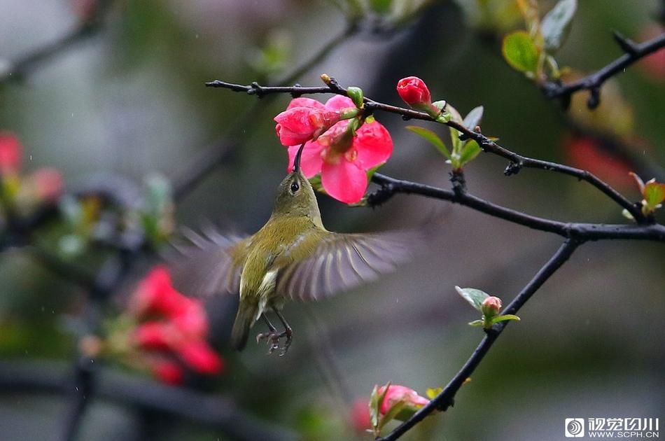 探春|忽如一夜春风来 春色春花春鸟唱