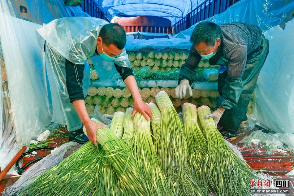 四川汉源:万亩蒜薹采收上市