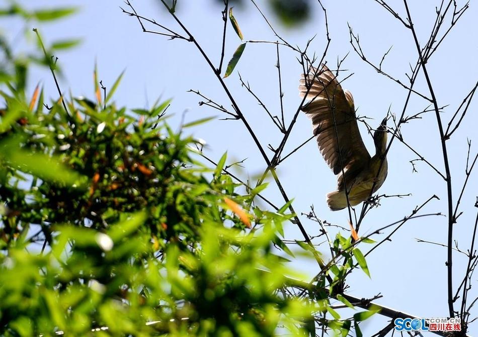 成都望江楼公园:白鹭在公园竹林中搭建上100个巢