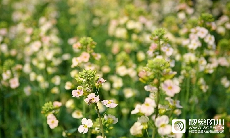 油菜花你喜欢什么颜色的 白色、 黄色、粉色……