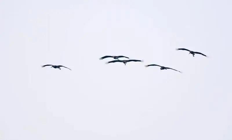 """首次记录!11只""""鸟中大熊猫""""黑鹳集体空降德阳旌湖"""