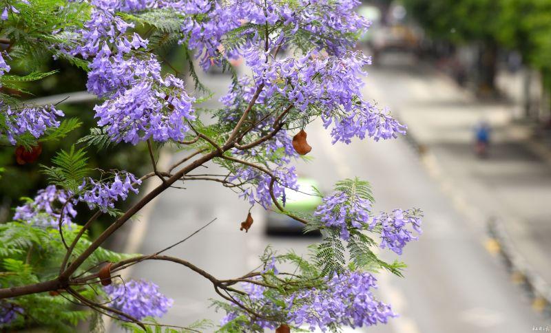 成都这条蓝花楹盛开的大道美得让人惊叹