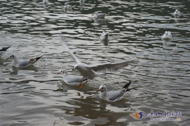 红嘴鸥成群结队飞来过冬 为嘉州再添一道风景线