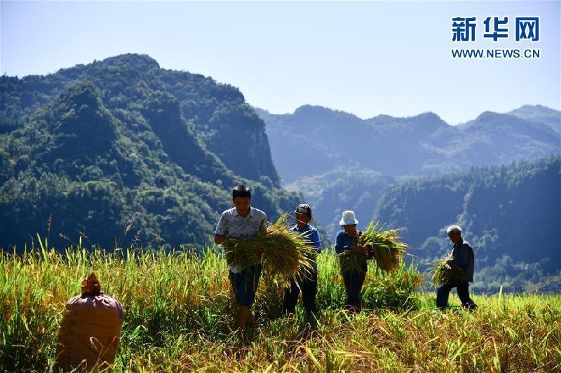 四川叙永:高山水稻抢收忙 特色大米富农家