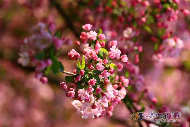 西府海棠开:雪绽霞铺锦水头,占春颜色最风流