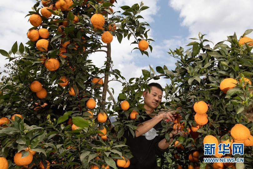四川石棉:黄果柑成熟上市