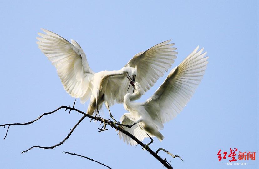 一行白鹭上青天 成都这群白鹭居然在打架