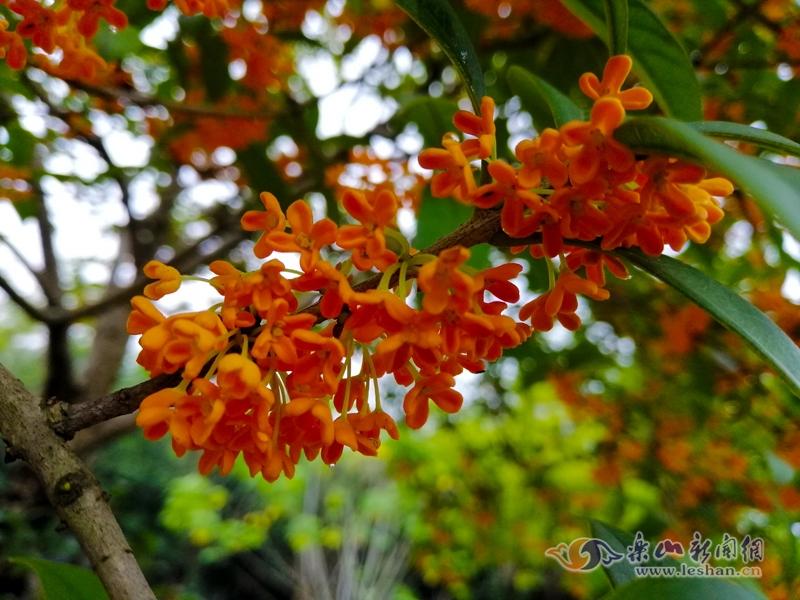 满城桂花香 乐山城区这些地方可以赏花