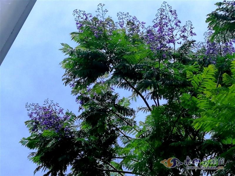 万众期待的蓝花楹开了 本月中旬迎来盛花期