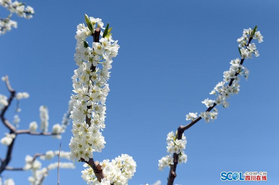 茂县7万亩脆李花盛开 好一幅南国香雪奇景