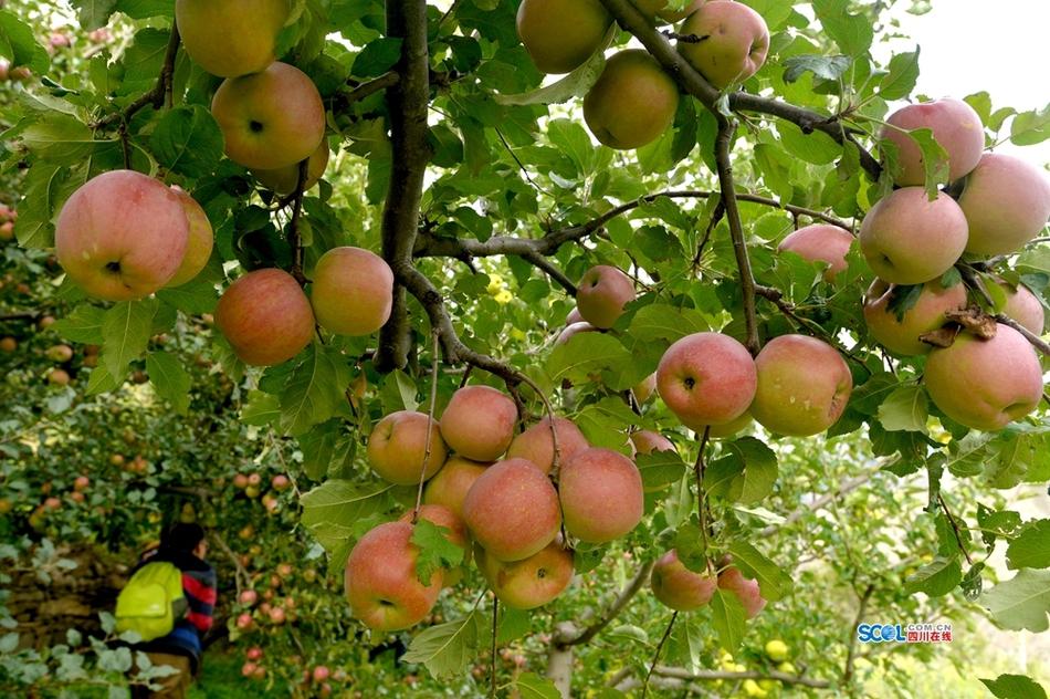 来阿坝小金苹果之乡收获丰收和喜悦