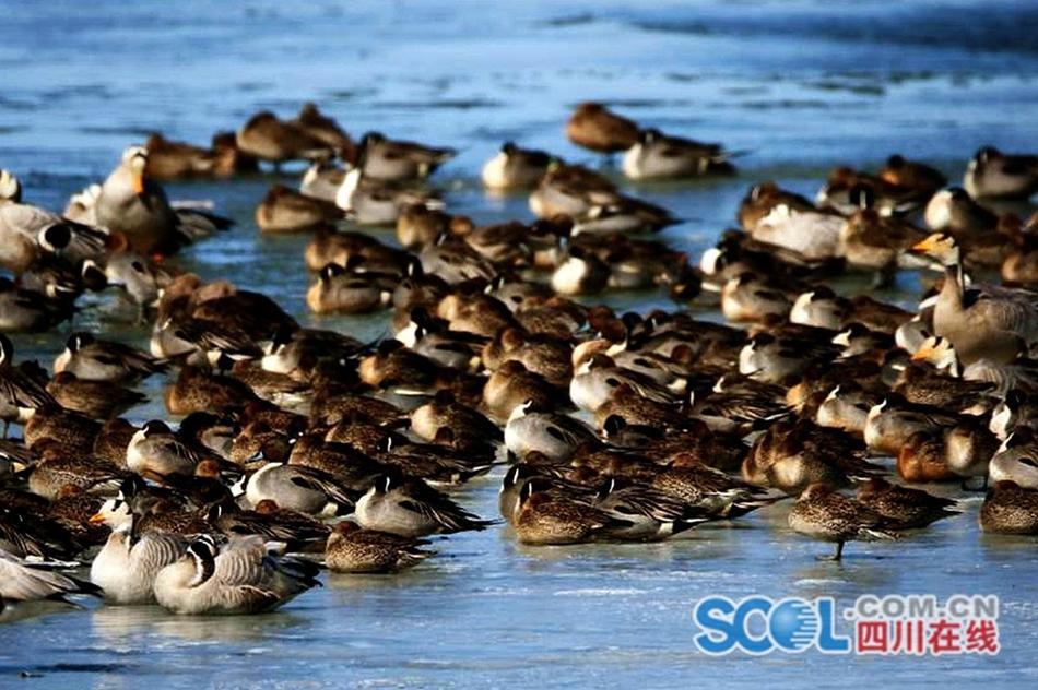 四川若尔盖湿地迎来数万候鸟回归
