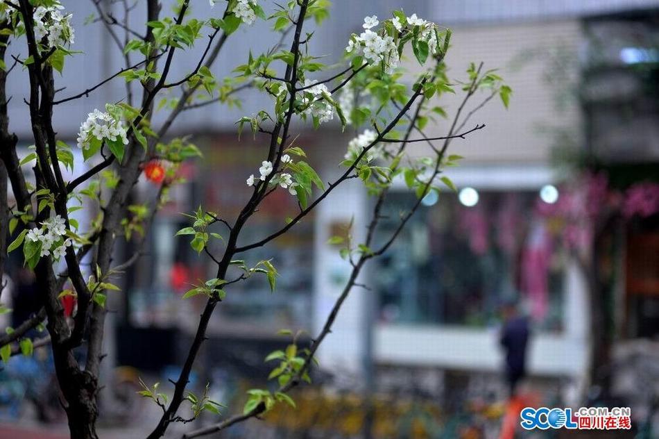 赏花何必舍近求远 成都梨花街的梨花开了