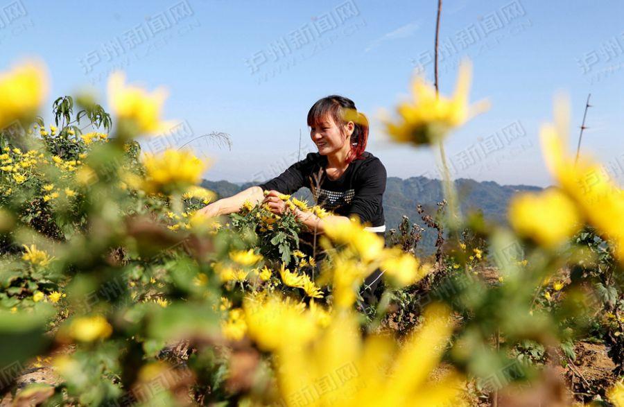 【高清】幽幽菊香遍地黄 纳溪农户采菊忙