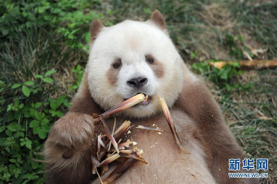国宝中的国宝!秦岭棕色大熊猫七仔的快乐生活