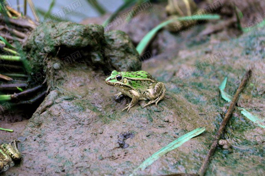 【高清】集体养殖黑斑蛙 致富增收新途径