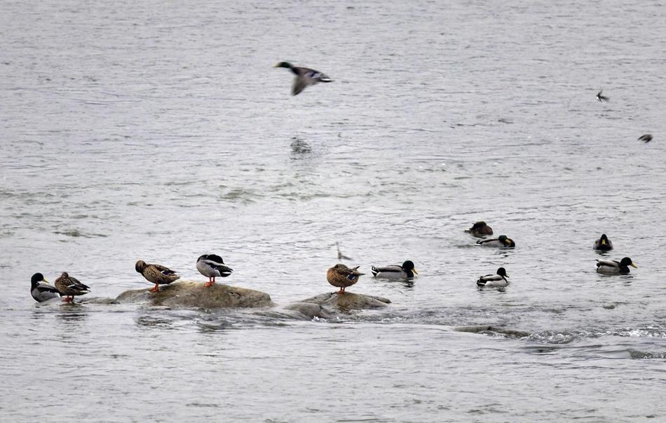 看候鸟!近百只赤麻鸭飞抵彭山岷江河道