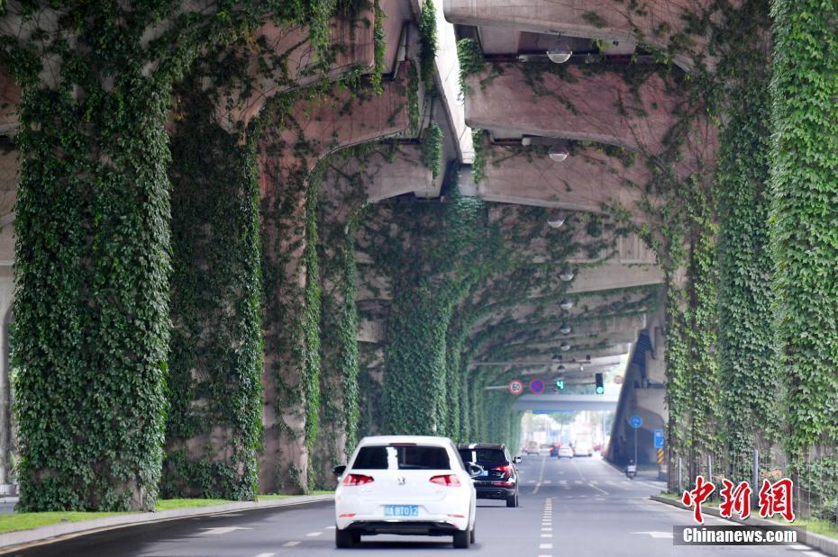 """成都二环高架桥爬满爬山虎 车辆如同穿梭""""森林隧道"""""""