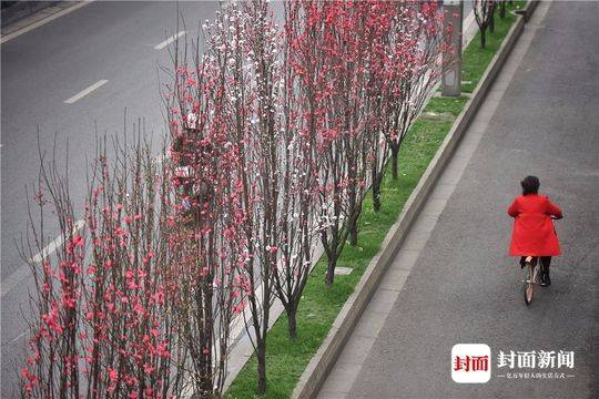 成都总府路上的碧桃美景 花期十余天 错过要等明年