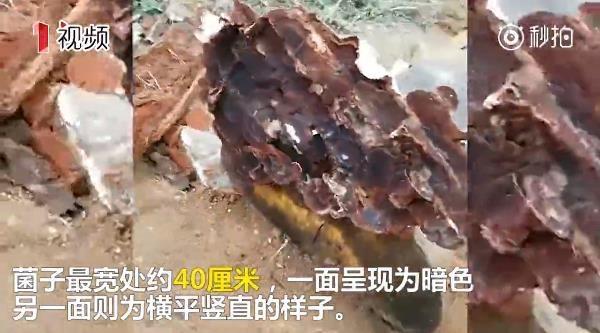 成都市民迁坟发现超大血灵芝 专家称是木腐菌