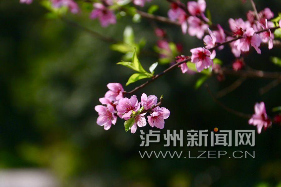 春到黄舣瓦窑滩 五亩桃花盛放时