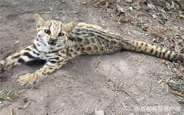 是豹还是猫 绵竹市民进山救下受伤动物初步判定为豹猫