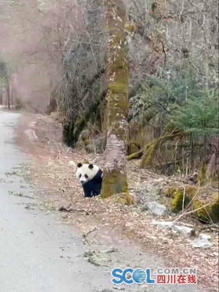 大熊猫又横穿马路啦!绵阳平武团子撅屁股等游客拍照