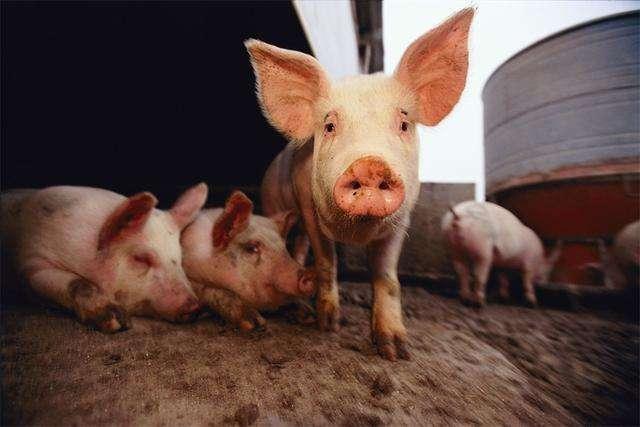 非洲猪瘟来袭猪肉还能吃吗?权威解答来了!