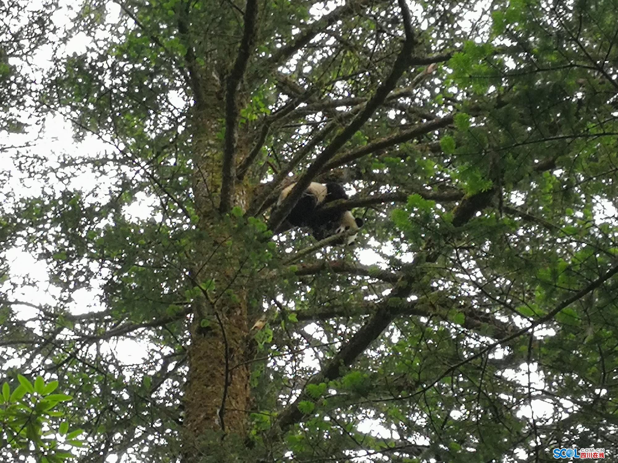 四川卧龙:野生大熊猫宝宝爬树 被科考队员拍下
