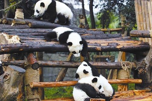 """以大熊猫保护为核心 成都将大手笔打造""""熊猫之都"""""""