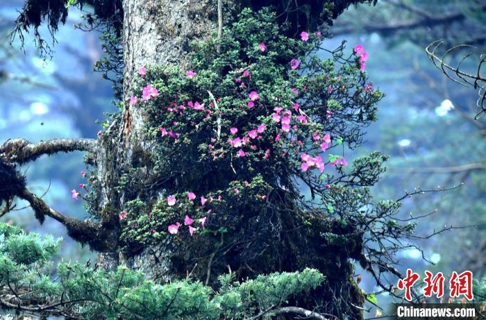 瓦屋山原始森林绽放树生野杜鹃