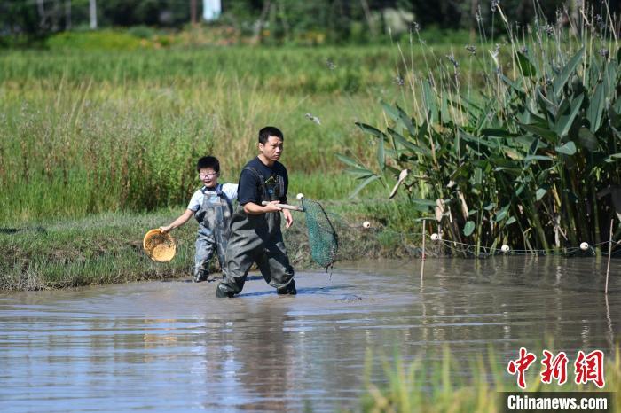 成都游客稻田抓鱼享受中秋野趣生活