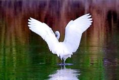 大群白鹭飞回新津,速来围观湿地鸟影