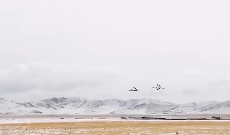 """5年来最早""""回家""""!首批越冬黑颈鹤飞抵若尔盖保护区"""