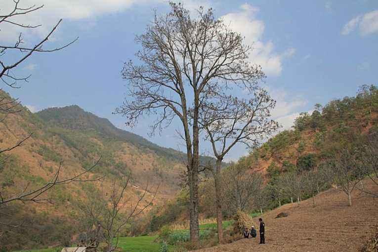 剥两株红椿树树皮 攀枝花村民获刑两年