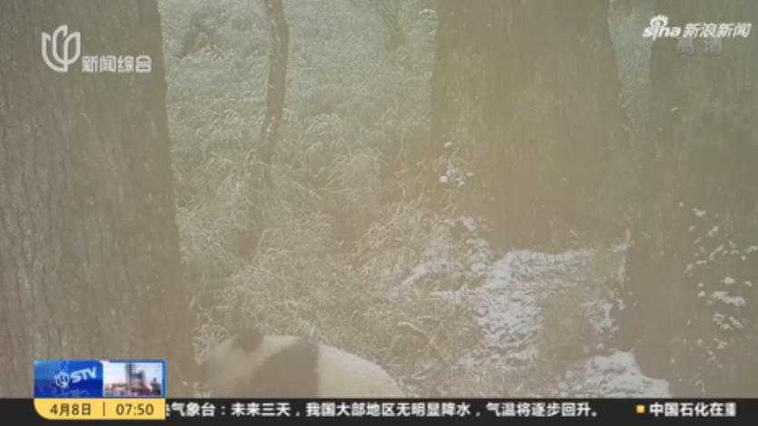 四川卧龙拍摄到野生大熊猫母子同框