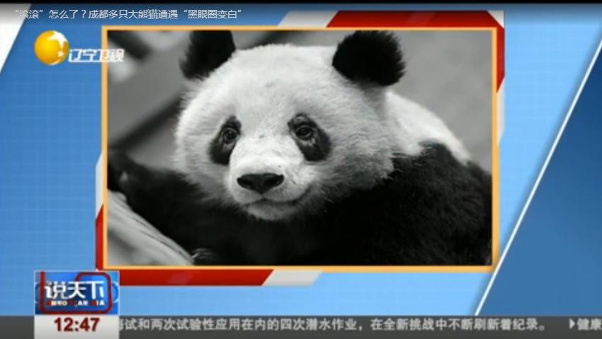 """""""滚滚""""怎么了?成都多只大熊猫遭遇""""黑眼圈变白"""""""