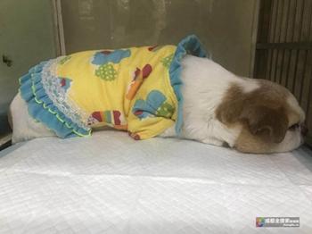 流浪狗吉娃娃肿得像兔子 成都市民、宠物医院爱心救治