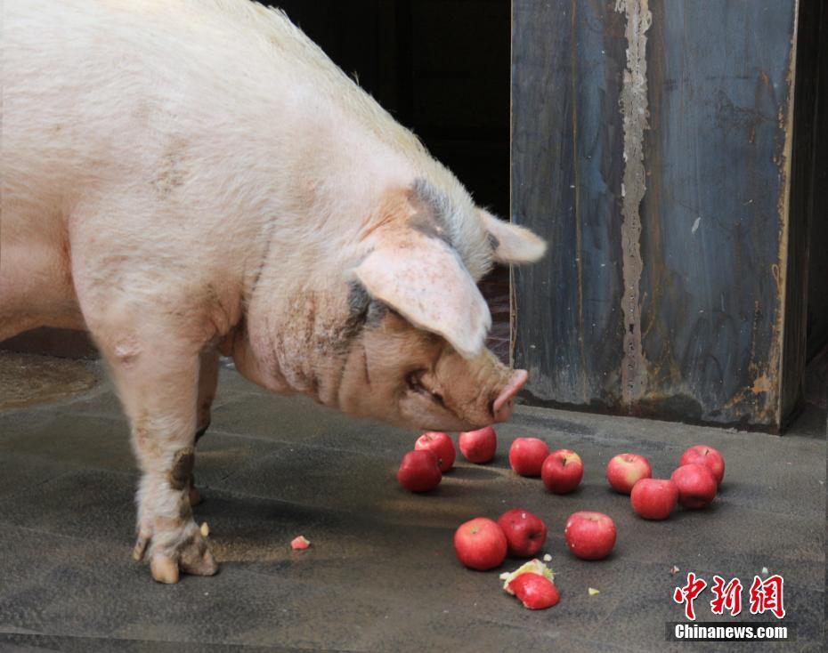 """四川汶川地震12岁""""猪坚强""""搬新家"""