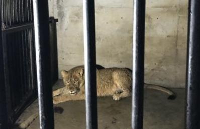 四川首次大规模引进10只南非幼狮