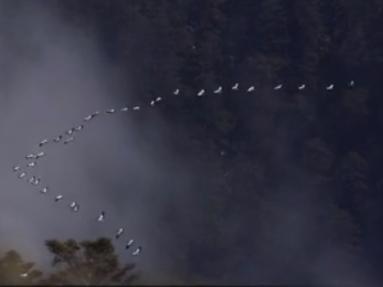 现存世仅1万只的黑颈鹤现身雅安 爱鸟者记录V字迁徙