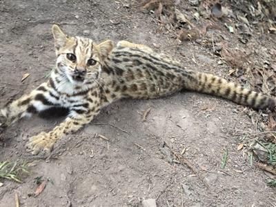 绵竹市民游玩时发现被夹瘸腿的豹猫 谁在林中设捕兽夹?