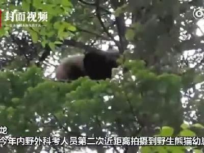 树上结熊猫了?四川卧龙又有野生熊猫崽上树被偷拍