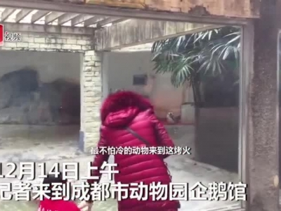 视频:成都冬天有多冷?动物园的企鹅排队烤火