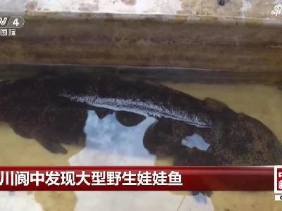 《中国新闻》四川阆中发现大型野生娃娃鱼