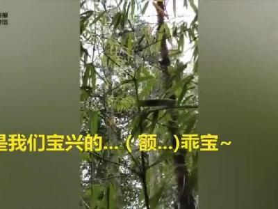 视频丨四川人民有多爱熊猫 都在这段全程高能的喊话里了